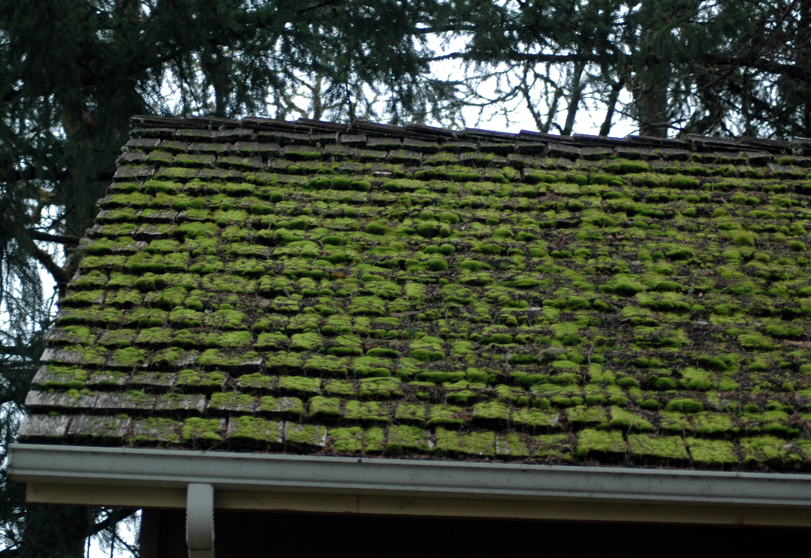 roof_moss_on_wood_roof_dsc_0164.jpg
